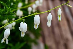 Dicentra - white Broken Heart Flowers. Natural plants for ornamental and landscaping park and garden design. Royalty Free Stock Photos