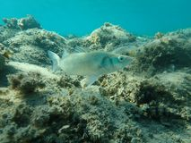 Free Dicentrarchus Labrax, European Bass, Sea Bass, Branzino. Stock Images - 160469944