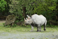 Diceros bicornis. The name Black Rhinoceros was chosen to distinguish this species from the White Rhinoceros. The Black Rhinoceros has a beak shaped lip Stock Images