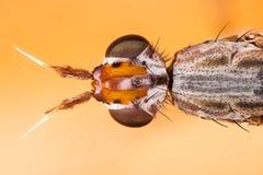 Dichetophora borra, vuela, las moscas Imágenes de archivo libres de regalías