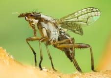 Dichetophora borra, vuela, las moscas Imagenes de archivo