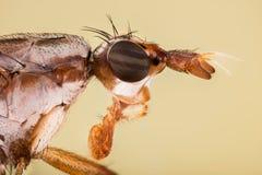 Dichetophora borra, vuela, las moscas Imagen de archivo libre de regalías