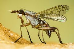 Dichetophora obliterate, Fly, Flies Royalty Free Stock Images