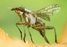 Dichetophora obliterate, Fly, Flies Stock Images