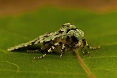 Dichonia aprilina moth Royalty Free Stock Photography