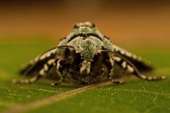 Dichonia aprilina moth Stock Image