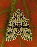Dichonia aprilina moth Stock Photo
