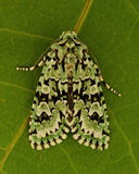 Dichonia aprilina moth Stock Photography