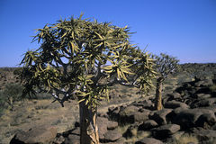 Dichotoma d'aloès, Namibie photo libre de droits