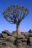 Dichotoma del áloe, Namibia Foto de archivo libre de regalías