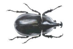 Dichotoma van Allomyiina Royalty-vrije Stock Afbeelding