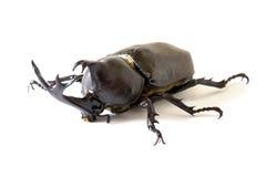 Dichotomus de Trypoxylus Fotos de archivo libres de regalías