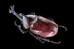 Dichotomus de Trypoxylus no fundo preto imagem de stock