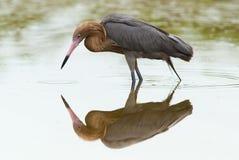 dichromanassa egret czerwonawi rufescens Zdjęcie Stock