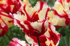 Dichromatische Tulpe Lizenzfreies Stockfoto