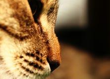 Dicht-ap van de kat stock afbeelding