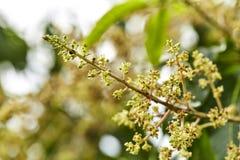 Dicht bij organische mangoknoppen royalty-vrije stock afbeelding
