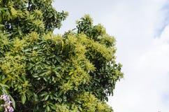 Dicht blühender Birnen-Baum lizenzfreie stockfotos