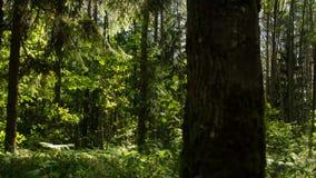 Dicht bosbos in zonnig weer Bos, aard, timelapse stock video