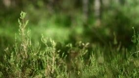 Dicht gemengd bos met lang gras Witte berken in groen de zomerbos stock videobeelden