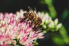 Dicht Honey Bee omhoog bestuivend een levendige purpere bloem royalty-vrije stock foto