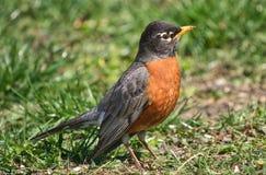 Dicht omhoog gedetailleerd van Amerikaanse Robin stock fotografie