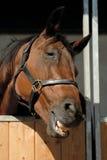 Dicht omhoog glimlachend paard Royalty-vrije Stock Foto