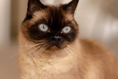 Dicht portret van blauwe eyed siamese kattenzitting op de vloer royalty-vrije stock foto