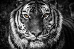 Dicht portret van een tijger royalty-vrije stock afbeeldingen