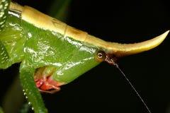 Dicht portret van een tropische sprinkhaan Stock Afbeeldingen