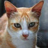 Dicht portret van gemberkat met grijze ogen en lange bakkebaarden Stock Afbeelding