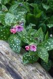 Pulmonaria in tuin. Royalty-vrije Stock Afbeeldingen
