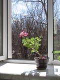 Dichtbij een open venster in de vroege lente Stock Fotografie