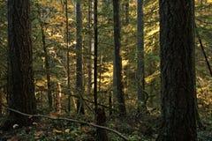 Dichte Bäume entlang einer bewaldeten wandernden Spur lizenzfreies stockbild