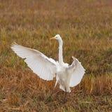 Dichte de vogelegretta van de menings grote witte aigrette alba in uitgespreid riet, Royalty-vrije Stock Afbeelding