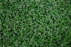 Dichte Dickichte vieler kleinen runden grünen Blätter einer tropischen Anlage stockfoto