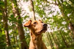 Dichte Dogportrait Royalty-vrije Stock Foto's
