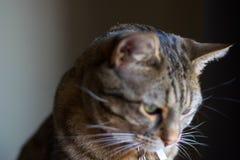 Dichte eerlijke mening van gestreepte katkat die uit vensterrust en ontspannen kijken stock afbeelding