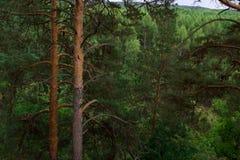 Dichte gezierte Waldgrünbäume stockbild