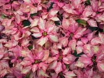 Dichte Gruppen von blassem - rosa Poinsettias lizenzfreies stockfoto