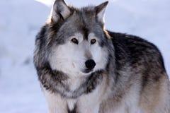 Dichte het Bestuderen van de wolf omhoog Omgeving Royalty-vrije Stock Afbeeldingen