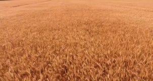 Dichte luchtvlucht over gouden tarwegebied die in wind tegen bossilhouet golven stock video