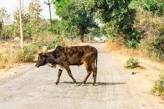 Dichte mening die van stier aan een landelijke dorpsweg kruisen in zonnige dag Royalty-vrije Stock Afbeeldingen