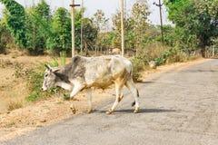 Dichte mening die van stier aan een landelijke dorpsweg kruisen in zonnige dag Royalty-vrije Stock Foto