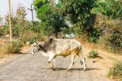 Dichte mening die van stier aan een landelijke dorpsweg kruisen in zonnige dag Stock Afbeelding