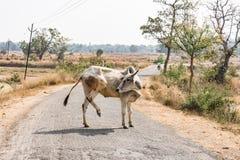 Dichte mening die van stier aan een landelijke dorpsweg kruisen in zonnige dag Royalty-vrije Stock Foto's