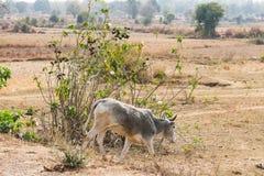 Dichte mening die van stier aan een landelijke dorpsweg kruisen in zonnige dag Stock Afbeeldingen