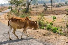Dichte mening die van stier aan een landelijke dorpsweg kruisen in zonnige dag Stock Fotografie