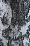 Dichte mening Natuurlijke achtergrond: berkeschors, gebruik voor illustraties, decoratieve patronen, textieldrukken stock foto