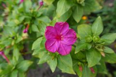 Dichte mening van bloem van Mirabilis-jalapa royalty-vrije stock foto